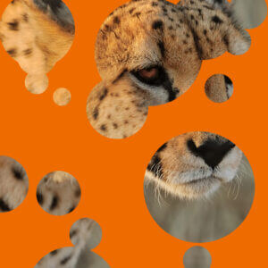 Orange graphic with circles revealing a cheetah underneath